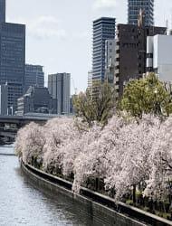 Okawa River Sakura Cruise